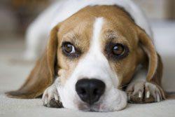 Hund kastrieren - Ja oder Nein?