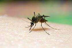 Nicht der Stich der Anopheles Mücke ist gefährlich, sondern der Erreger Plasmodium