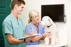 Der Tierarzt setzt ein Implantat ein