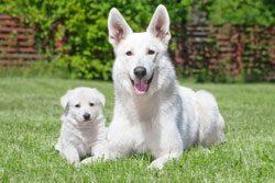 Welpe, Junghund oder erwachsener Hund?