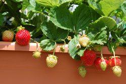Erdbeeren auf dem Balkon - Genauso lecker wie aus dem Garten