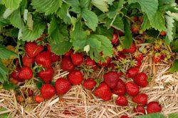 Erdbeeren düngen, um eine ertragreiche Ernte zu haben