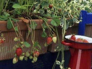 erdbeeren balkon tipps anbau