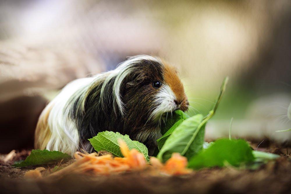 meerschwein haarausfall stress tipps