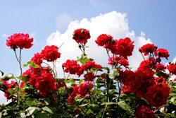 Blattläuse auf Rosen lassen sich mit einfach Mitteln bekämpfen