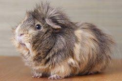 Haarausfall bei Meerschweinchen kann mehrere Ursachen haben
