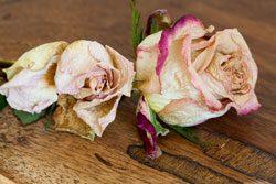 Rosen konservieren und dauerhaft haltbar machen