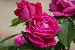 Rosen veredeln - Traumhaft schöne Blüten