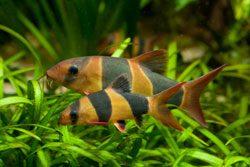 Schnecken im Aquarium bekämpfen - Prachtschmerlen lieben Schnecken