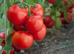 Es gibt viele Produkte, mit denen Sie Tomaten düngen können