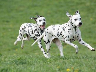 hund taubheit rassen