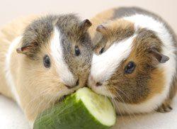 Zu stark gespritztes Obst und Gemüse kann zu Durchfall bei Meerschweinchen führen