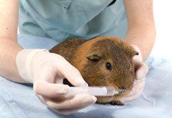 Milben bei Meerschweinchen - Gehen sie mit Ihrem Meerschwein zum Tierarzt
