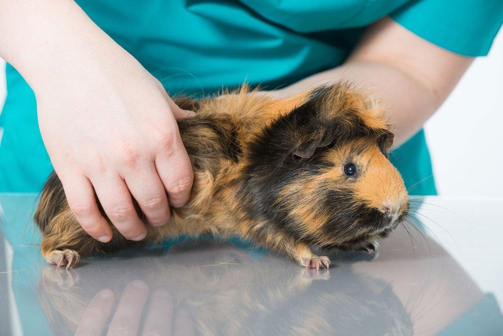 meerschwein milben parasiten tierarzt