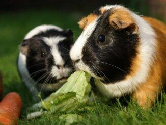 meerschwein durchfall hilfe tipps