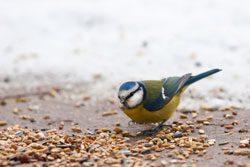 Vögel im Winter füttern ist sehr wichtig