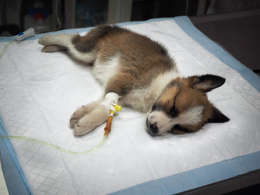 tollwut, parvovirose tipps hund krank