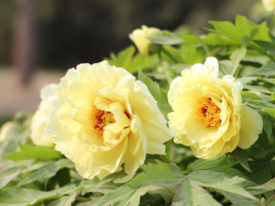 Gelbe Pfingstrosen (Lutea Hybriden) blühen im Mai