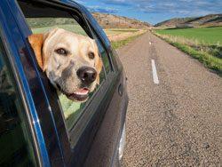 Viele Hunde mögen keine Autofahrten