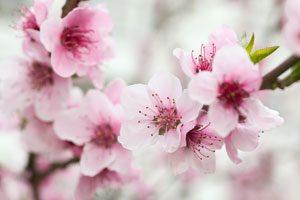 Wunderschön: Kirschblüten