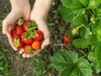 erdbeeren düngen tipps
