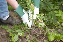 Gartenarbeit Juli Unkraut beseitigen