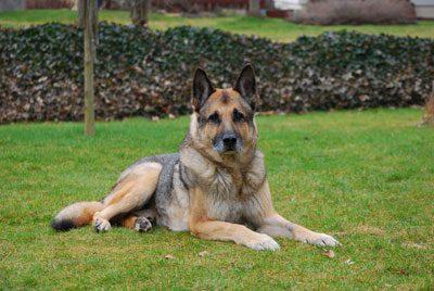 Paradebeispiel für Hüftdysplasie: der Deutsche Schäferhund
