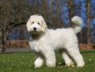 designerhund hybridhund mode