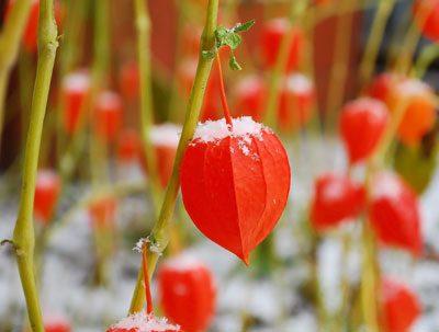 Physalis sollten den Winter lieber im Haus verbringen
