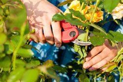 Gartenarbeit Juni Rosen beschneiden