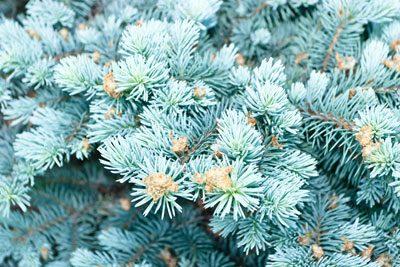 Weihnachtsbaum selbst schlagen Blaufichte