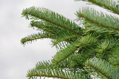 Weihnachtsbaum selbst schlagen Edeltanne