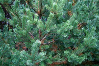 Weihnachtsbaum selbst schlagen Fichte