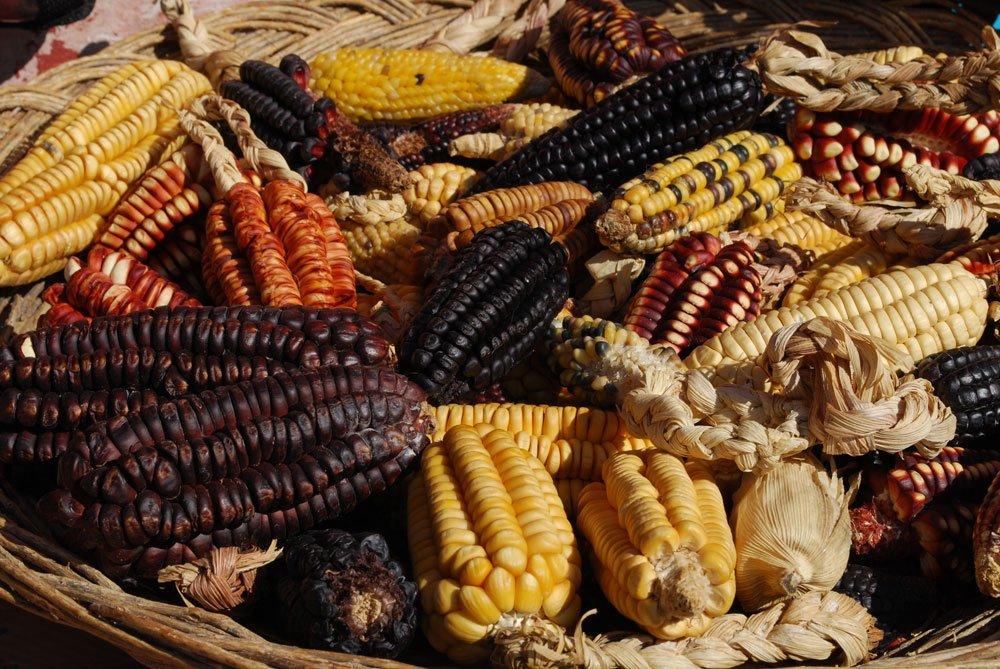 schwarzes gemüse mais anbau tipps