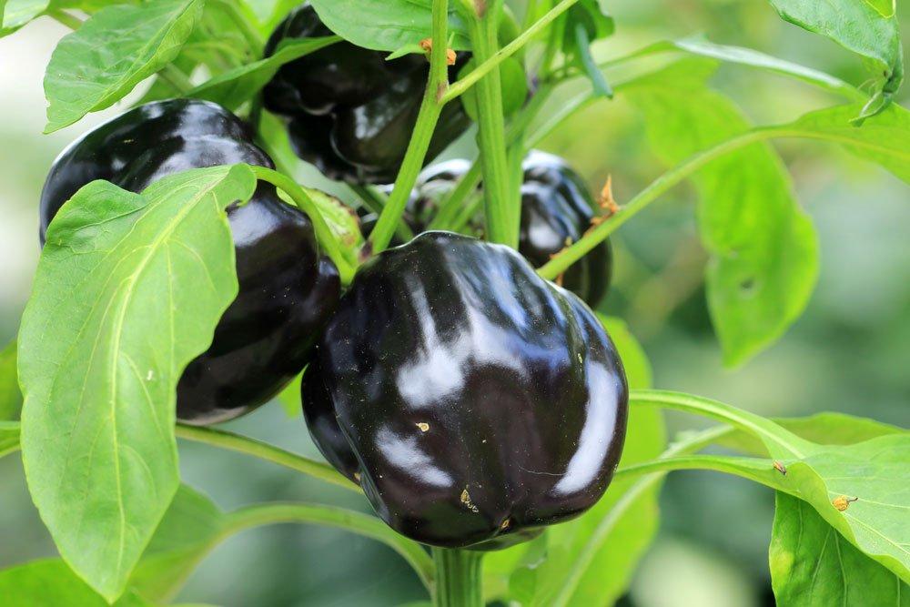 schwarzes gemüse paprika tipps