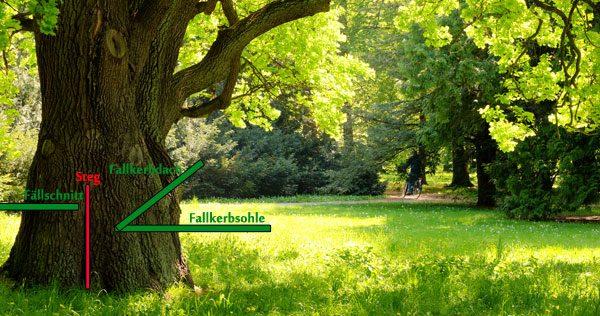 Baum fällen Anleitung Fällschnitt