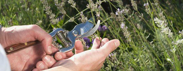 Lavendel schneiden – So wird's gemacht