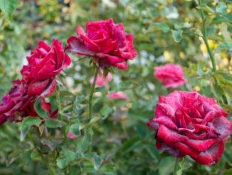 rosen mehltau tipps