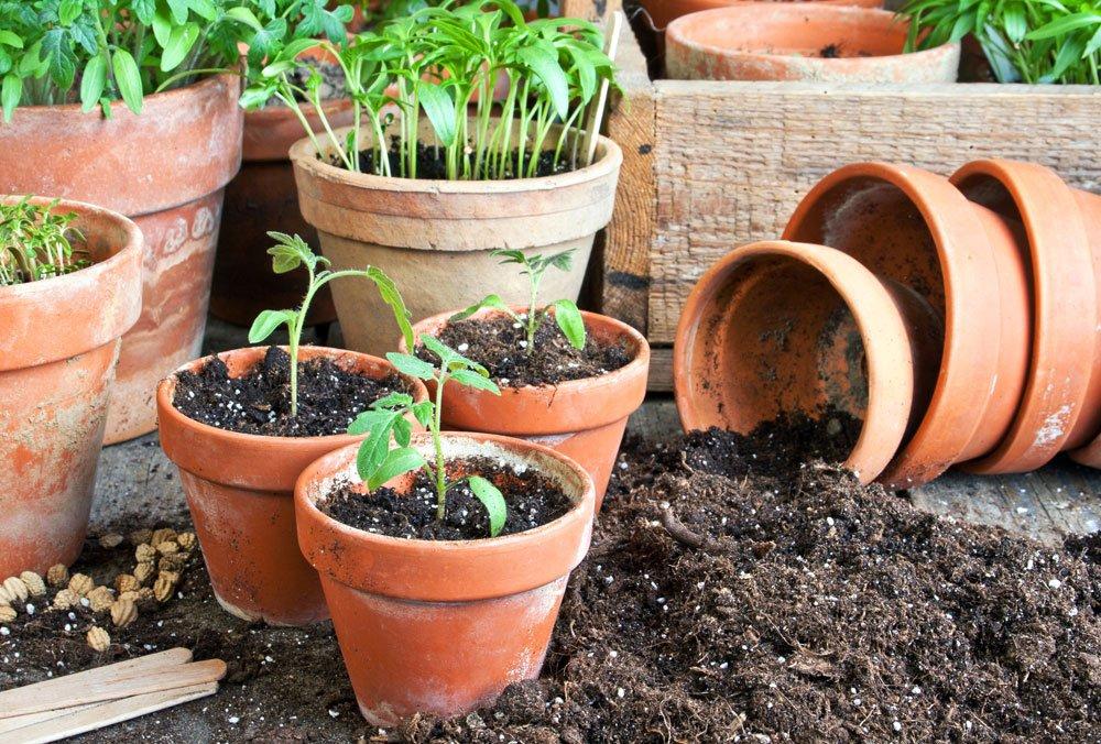 tomaten pikieren anleitung